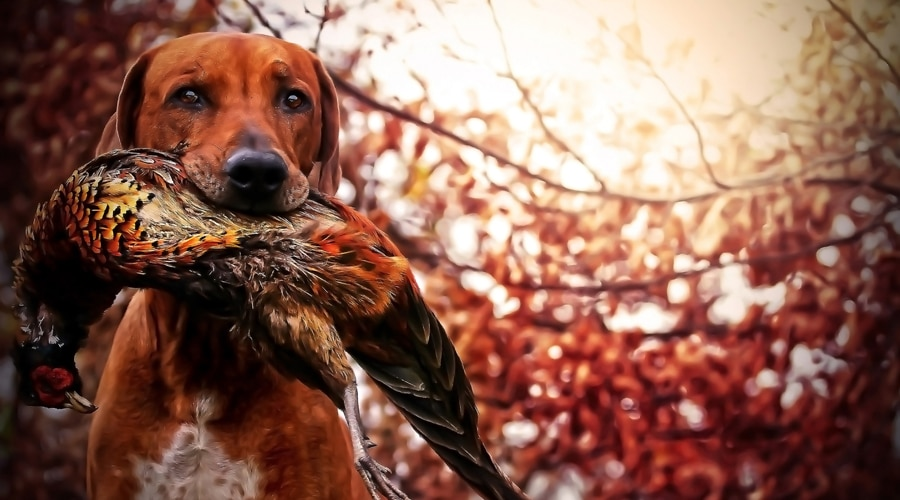 what to wear pheasant hunting