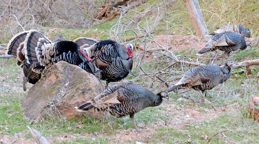 a group of wild turkeys wonder what to wear turkey hunting
